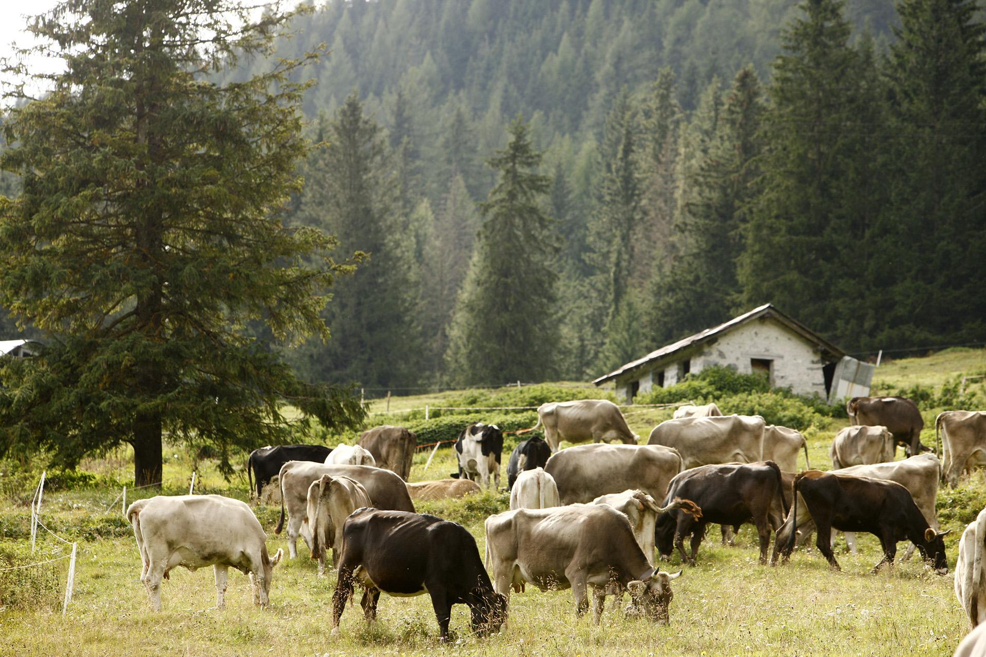Allevamento e alimentazione bovine Formaggio Silter (2)