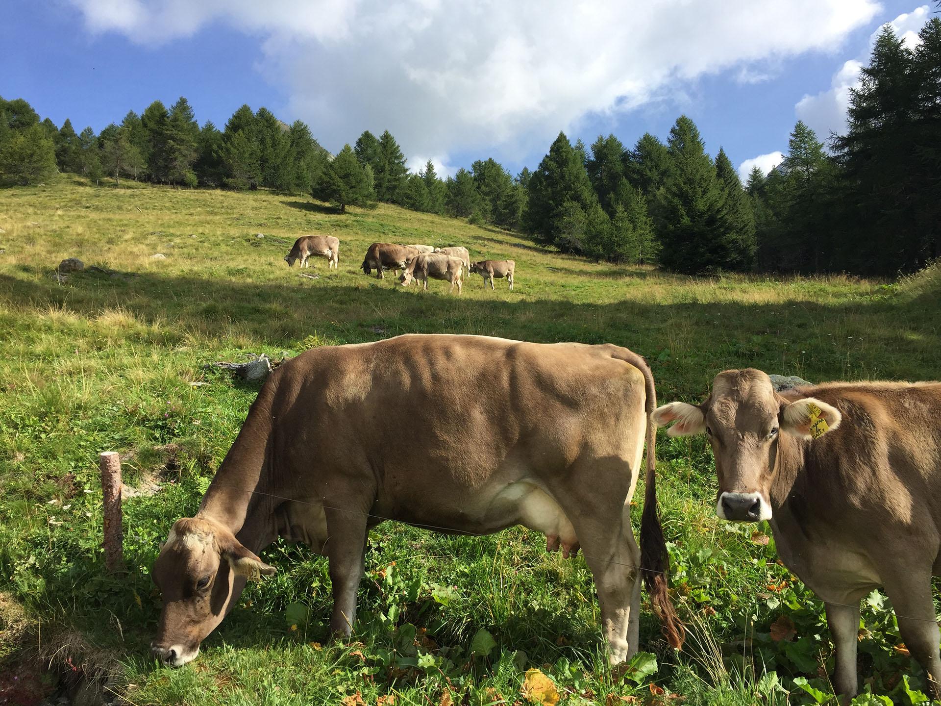 Pascolo bruna alpina Consorzio Silter Dop